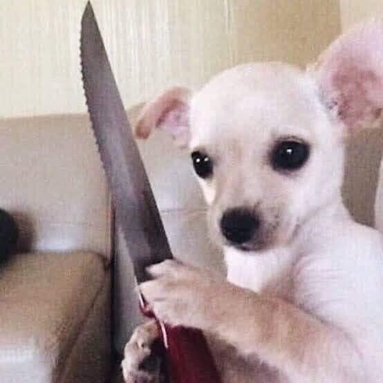 Chó chihuahua trắng cầm dao