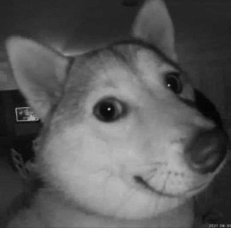 Chú chó mỉm cười nhìn thẳng vào màn hình