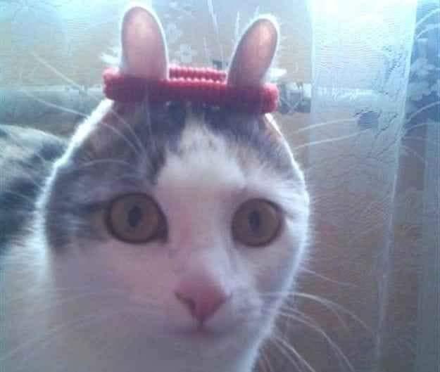 Mèo bị cột sợi dây giữa 2 tai nhìn như con thỏ