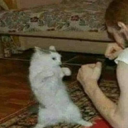Mèo đấm nhau với người